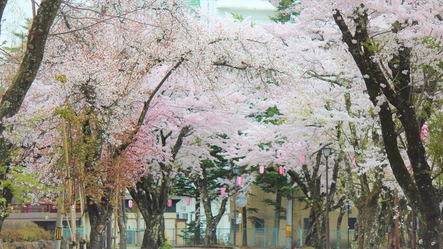【桜】大町温泉郷