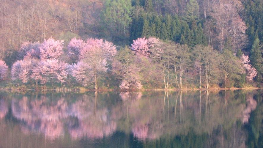 【中綱湖】オオヤマザクラ