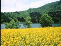 菜の花と北竜湖