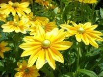 季節の花・ルドベキア