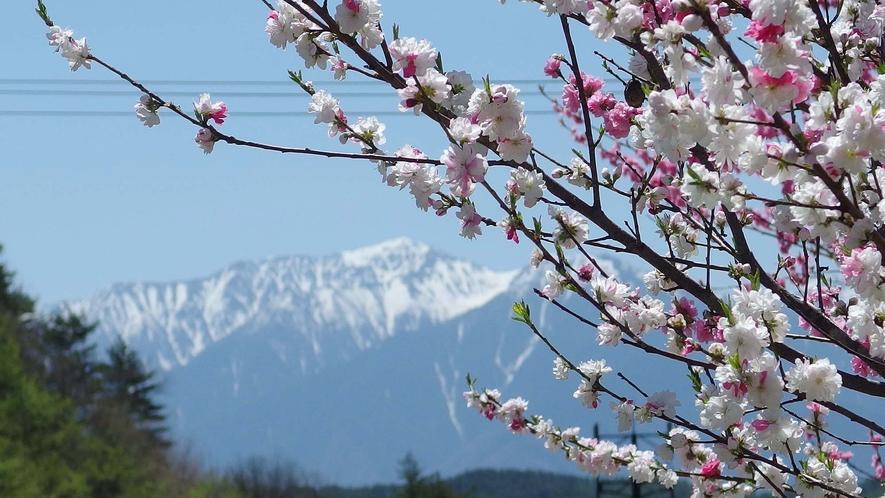 ・アルプス山脈を背景に咲き誇る桜の花