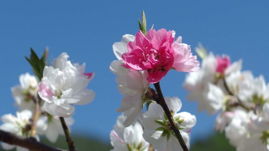 ・満開の桜の花