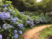 [周辺観光] 舞鶴自然文化園(アジサイ園)