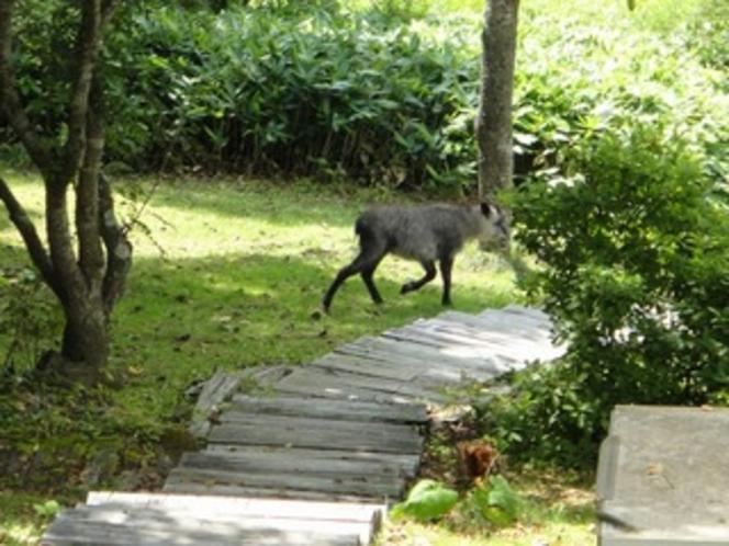 庭に現れた日本カモシカ