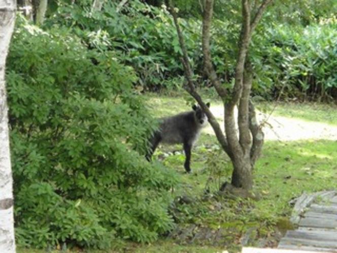 庭に現れた日本カモシカ2