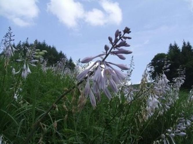 ゲレンデに咲く花々5