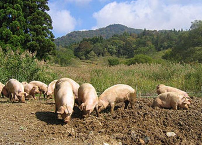 シャンツェで1番の人気! 山で育てている放牧の野豚 肉質、脂身の旨みが違います。