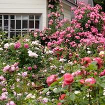 お庭のバラ1