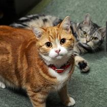 当館の看板猫アメショーの「さくら」と「モモコ」