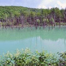 【周辺観光】美瑛青い池