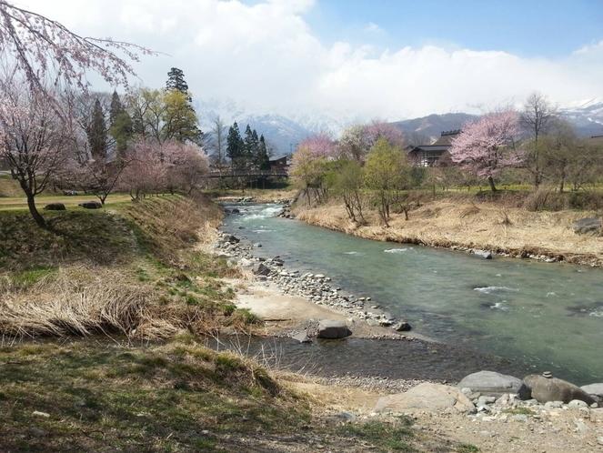 大出の吊橋 桜