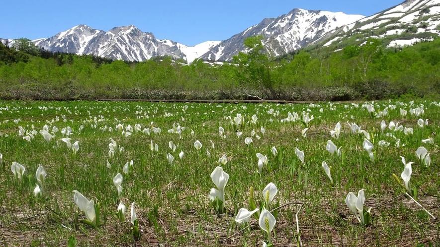 *[白馬の景色・春]栂池自然園のミズバショウは8月末まで見ることができます