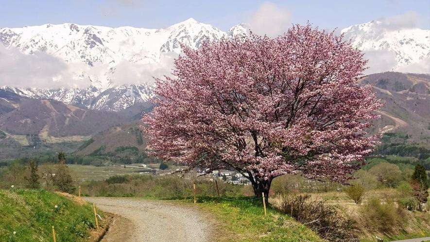 *[白馬の景色・春]野平のヤマザクラ