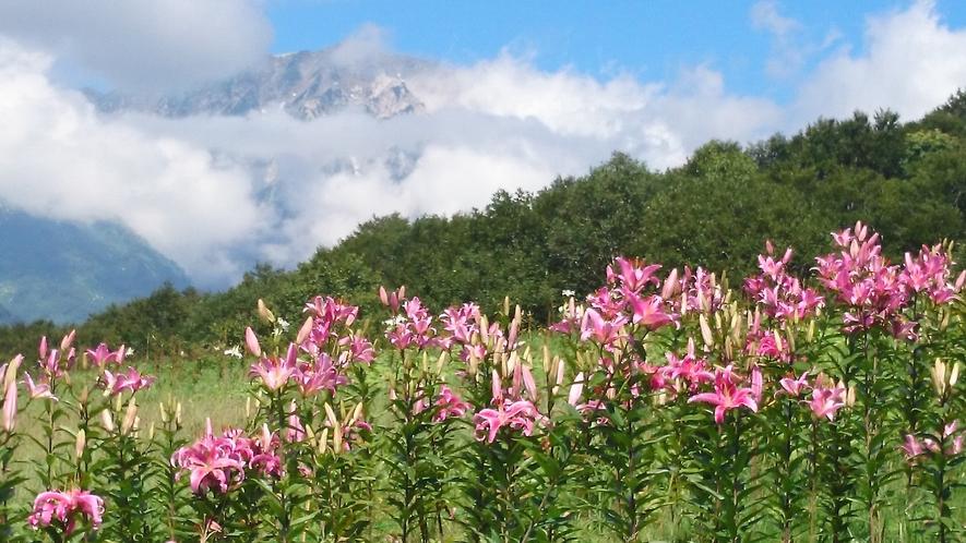 *[白馬の景色・夏]白馬岩岳ユリの園では50万株のユリを楽しめます