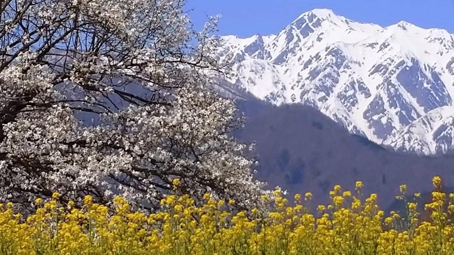 *[白馬の景色・春]九十九院のコブシと菜の花