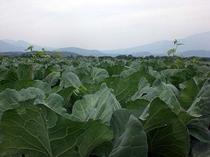 嬬恋村自慢のキャベツ