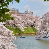 千鳥が渕桜
