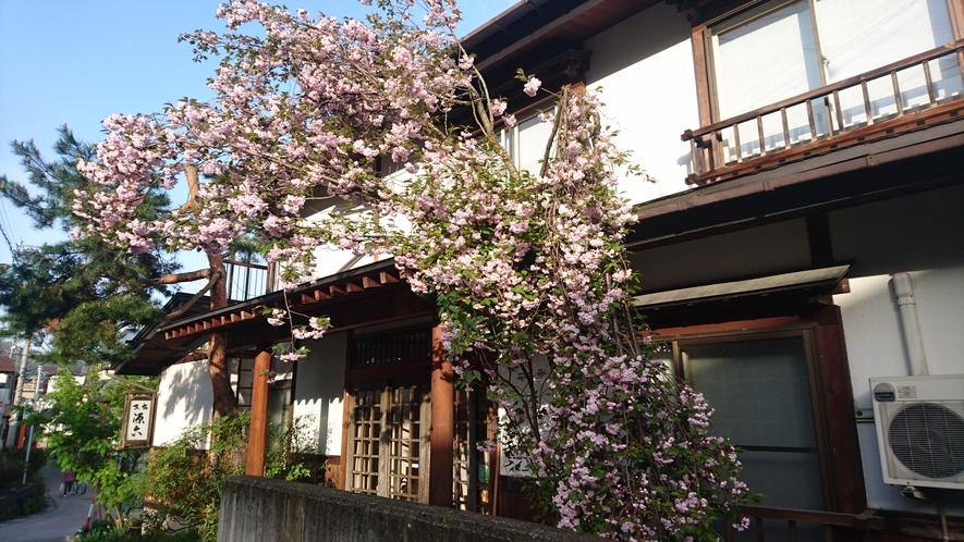 源六 玄関横の八重桜