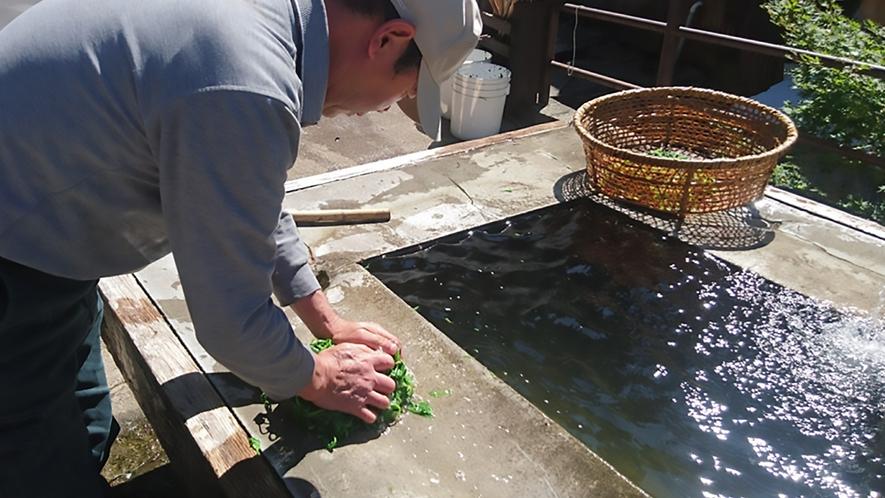 温泉茹で野沢菜の手揉み