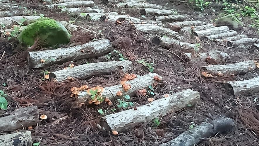 原木なめこ育成中