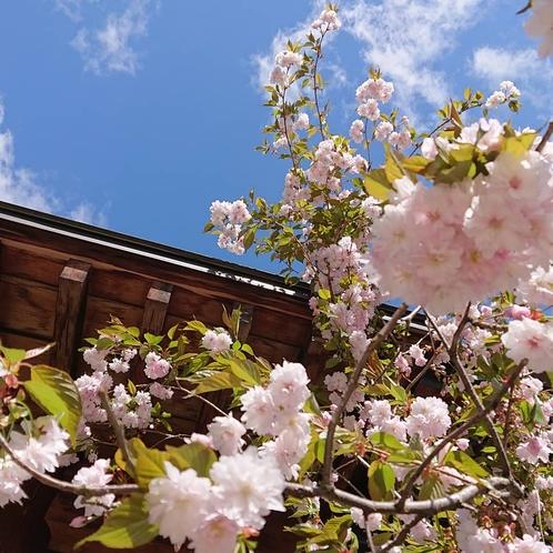 玄関横の八重桜