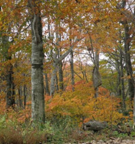 ブナの森林の紅葉