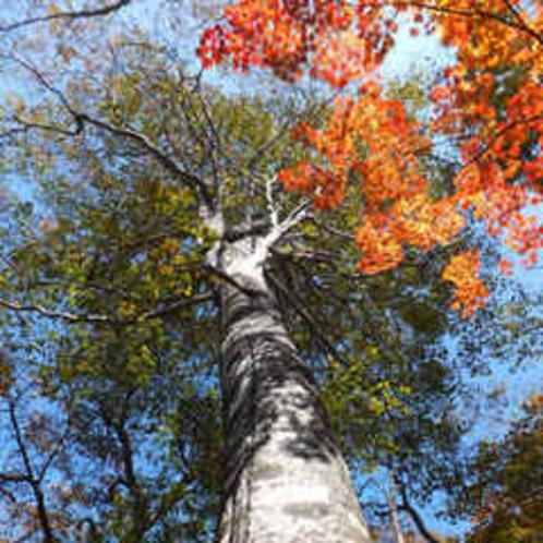ブナの森林の紅葉2