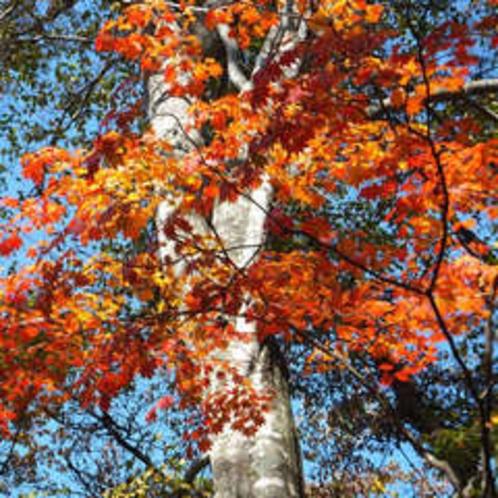 ブナの森林の紅葉3