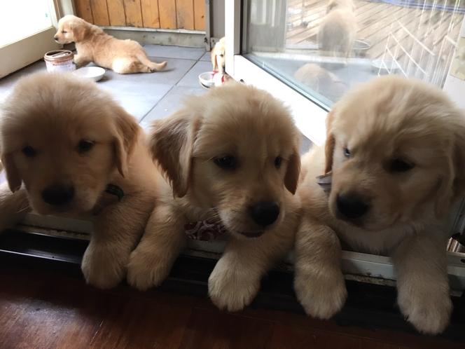2016年11月に生まれた仔犬たち。コスモの兄妹たちです。