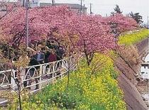 河津桜まつり2月6日〜3月10日迄。たくさんの人々が訪れる 宿より車で5分くらいで行けます。