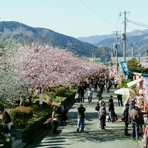 周辺_河津桜(3)