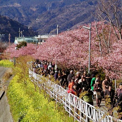 周辺_河津桜(2)