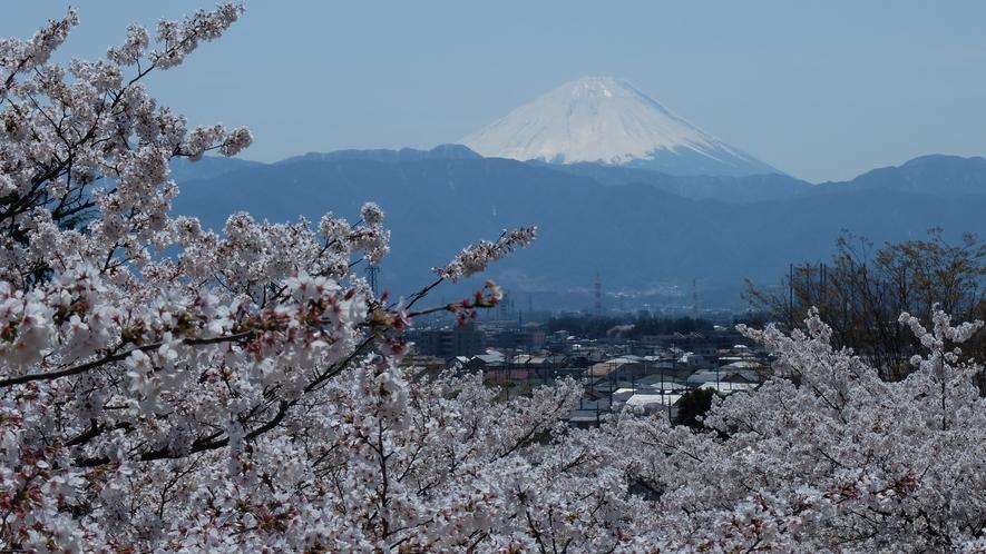 桜と富士山を楽しめる春は人気の時期です。