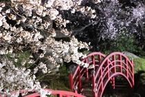 夜はまたライトアップされた桜がとっても綺麗です。