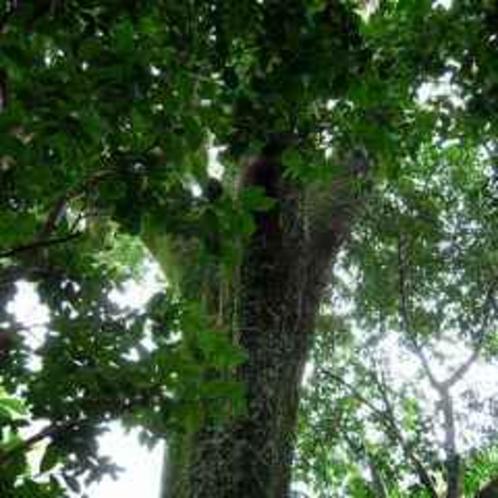 若旦那自慢の大木1