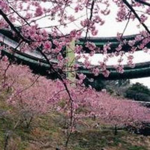 *早咲き河津桜