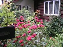庭に咲くベルガモット