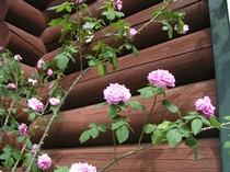 香りのバラ、ガートルード・ジキル