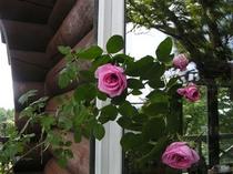 テラスのバラ