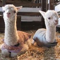 アルパカ牧場 アルパカの赤ちゃん