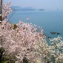 赤穂御崎からの桜