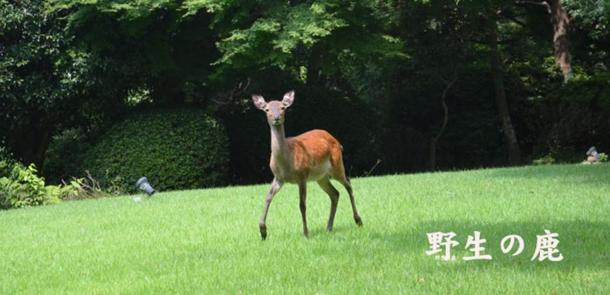 5中庭の鹿