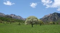 *【八ヶ岳清里のシンボルツリー】ヤマナシの花は清里を代表する風景 例年見頃は5月中旬頃です。