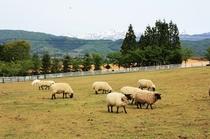 牧歌の里:羊