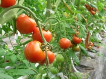 甘いトマト
