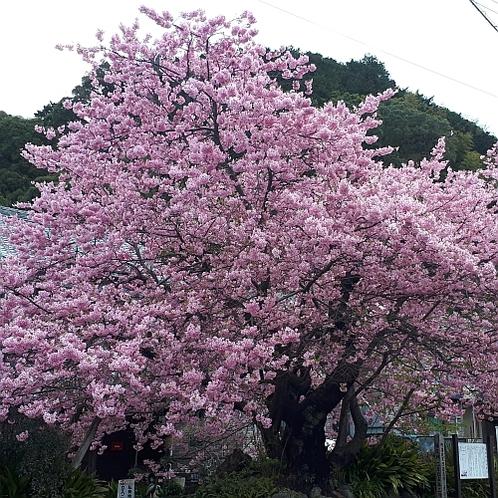 河津桜一例