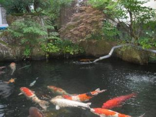 庭池の錦鯉