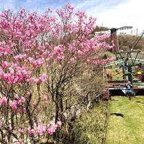 春の御在所岳山上リフトとアカヤシオ