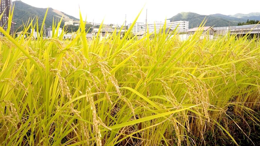 自家栽培の南魚沼産コシヒカリ お食事に新米をお出ししております