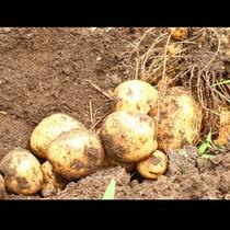 自家農園のジャガイモ